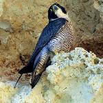 Perigrine Falcon from our boat trip around the Algarve Caves