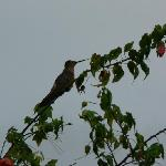 One hummingbird - bronzy Inco