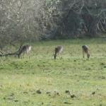 Deers in the New Forest