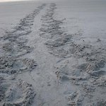 Turtle tracks just up the beach (nesting)