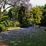 Garden with a carpet of Jacaranda blossoms