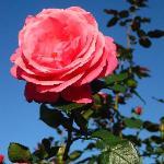 青空に薔薇が映えます