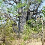 the 2000 year old Baobab tree near Nkwichi lodge