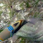 Pesce balestra picasso a 90 cm. di profondità