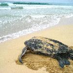Momma leatherback headed out...