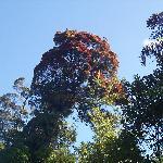 Native rata tree in full flower