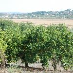 Orange trees view