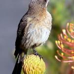 """Cape Sugarbird for your """"Suikerbekkie Suite"""""""