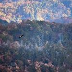 Bald eagle rides thermals up to the overlook