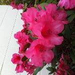 The lovely Azaleas out the back of my room