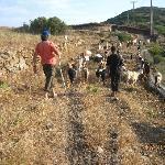 Goat herding on Marathi