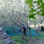 Men harvesting olives right outside my bedroom!