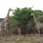 Girafes in Ubizane Wildlife Reserve