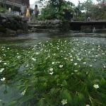水草 梅花藻