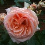 One of the beautiful roses in the garden
