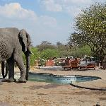 Elephants approaching the pool to drink
