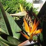 Paradisebird-bush from the hotel garden