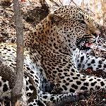 So close to the leopard, I can count its whiskers.