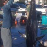 Morning catch of Yellow Fin Tuna across the street at Point Loma Sportsfishing