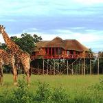Giraffes at Pezulu Tree House Lodge