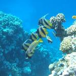 Reef with Bannerfish