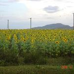 On the road to Chikmaglur - a farm full of sunflowers