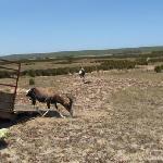 Bontebok being released onto Nuwejaars
