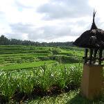 Rice fields from Villa Semana