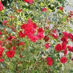 Un bouquet de roses pour ce restaurant