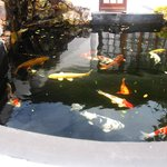 The yellow Koi Carp by the breakfast room pool