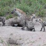 Spotted hyena den (note baby peeking out of den)