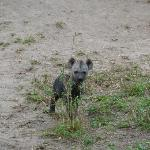 Baby hyena (got brave...decided to check-out the jeep) About 1 month old (still dark in color)