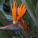 Bird of Paradise in the garden