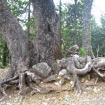 raices de árboles en un río en circuito chico