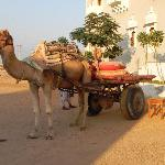 Take a camel to diner