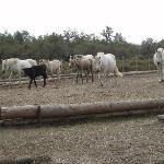 Die weissen Pferde der Camargue