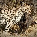 Unbelievable place for leopards