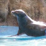 Sea lion at the Acuario