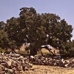 Majestic 1000 year old oak tree