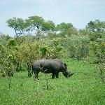 Rhino at Balule Game Reserve