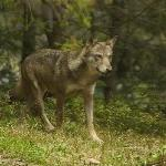 Photo de Alpha Loup