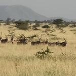 Herds of Oryxes at Awash National Park, October 2010.
