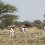 Mixed herds of Oryxes and Gazells you will see when visiting Awash Falls Lodge.