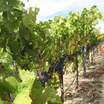 grapes  waiting for harvest