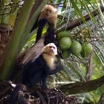 Capuchin (white-faced) monkey at Lapa Rios