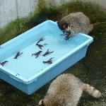 ザリガニを食べようとするアライグマ