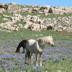 Cloud's wild horse herd lives on Pryor Mtn. near Lovell, WY