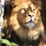 The Male Lion in Artis
