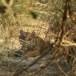 Big Cat at Bijrani
