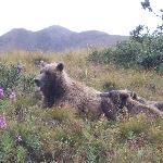 Bears in Denali Park